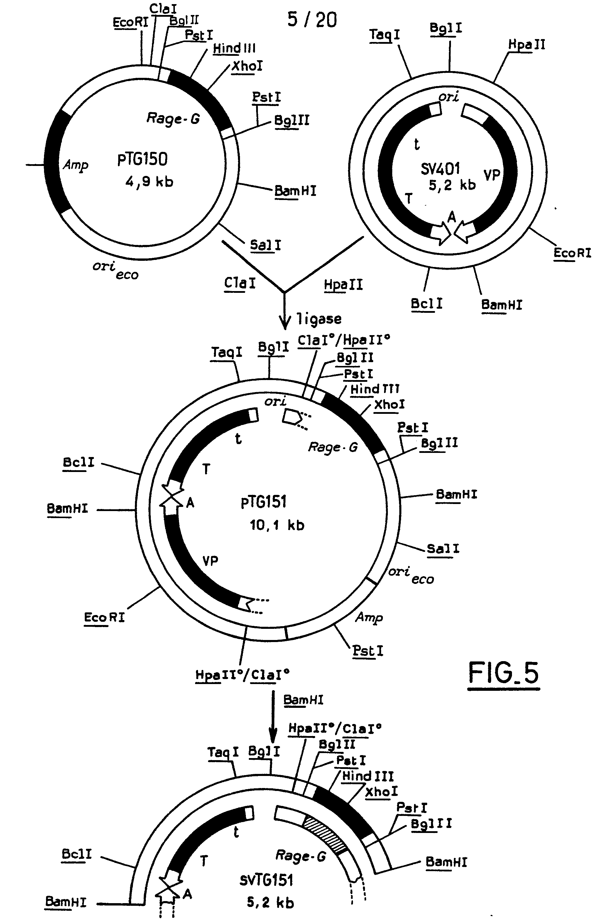 eukaryotic vectors for expression of proteins Proteins and protein complexes that cannot be expressed readily in bacteria are produced in one of two eukaryotic protein expression  expression vectors with .