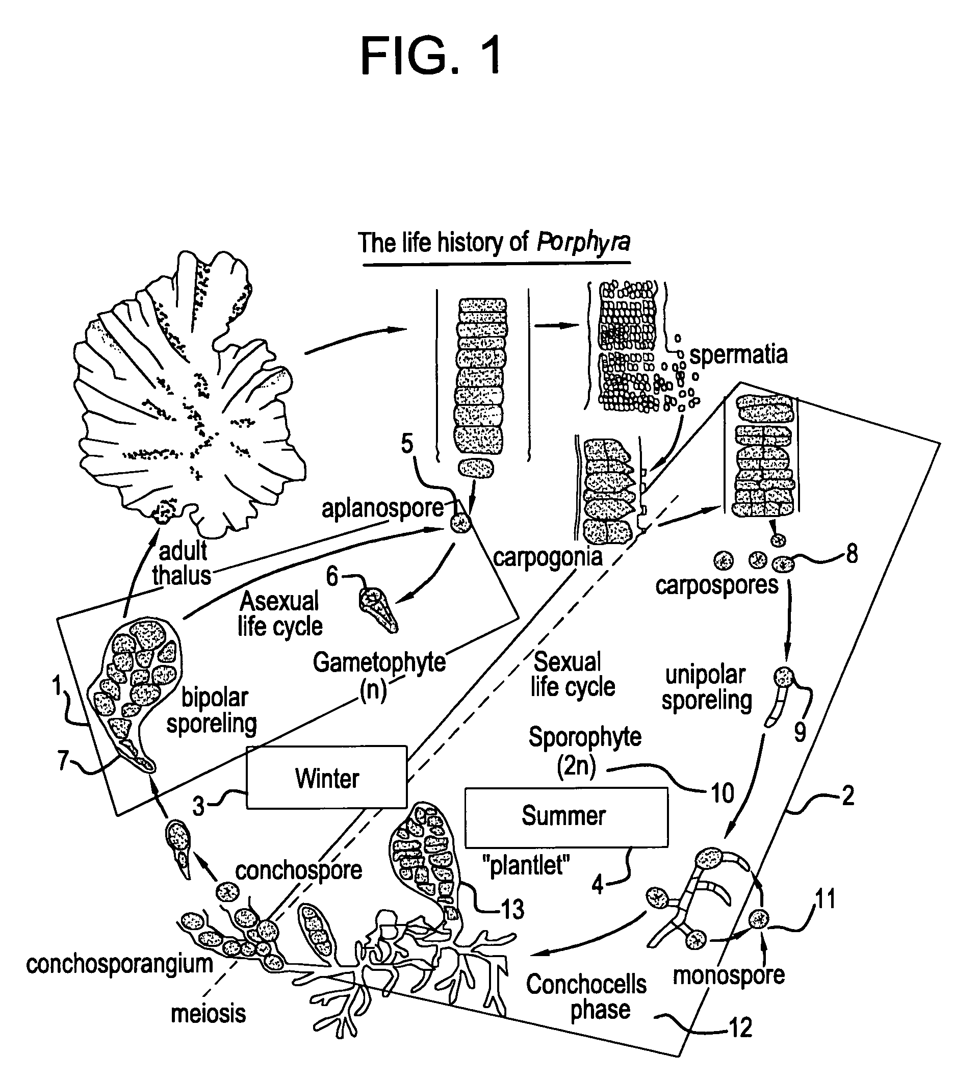 patent us20050120624 technology for cultivation of porphyra and patent drawing