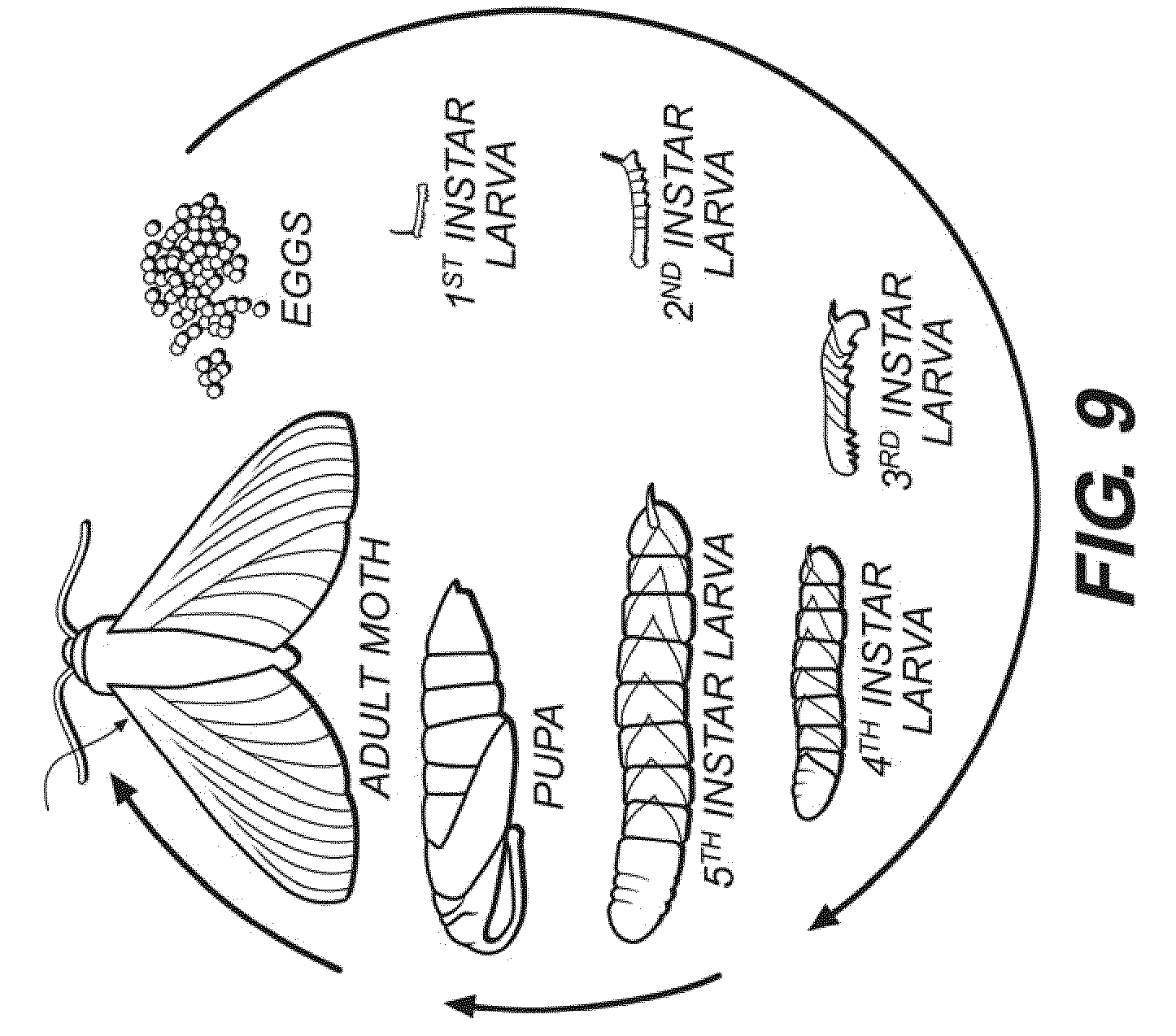 silkworm life cycle Colouring Pages