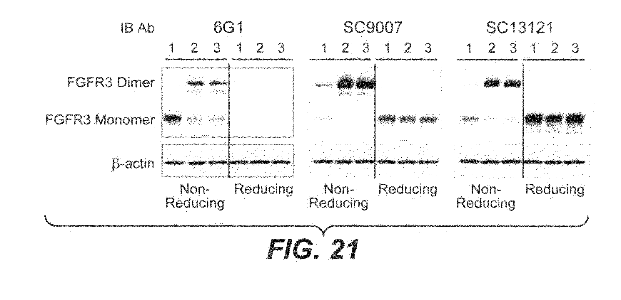 fgfr3 function Function 52 detection of fgfr3 expression identification of t(414) translocation and fgfr3 expression is an important step in the management of patients with mm.