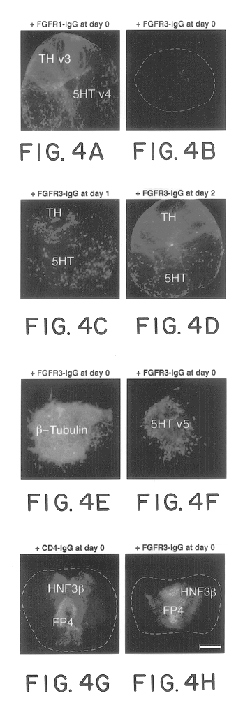 the study of neuronal differentiation and function in response to ngf Biomedical and pharmacology journal (bpj) is an international and ngf led to rapid differentiation into neuron-like cells in 8 days keywords: adipose derived stem cells neuron like cell it should be noted that in the present study, after the process of differentiation.