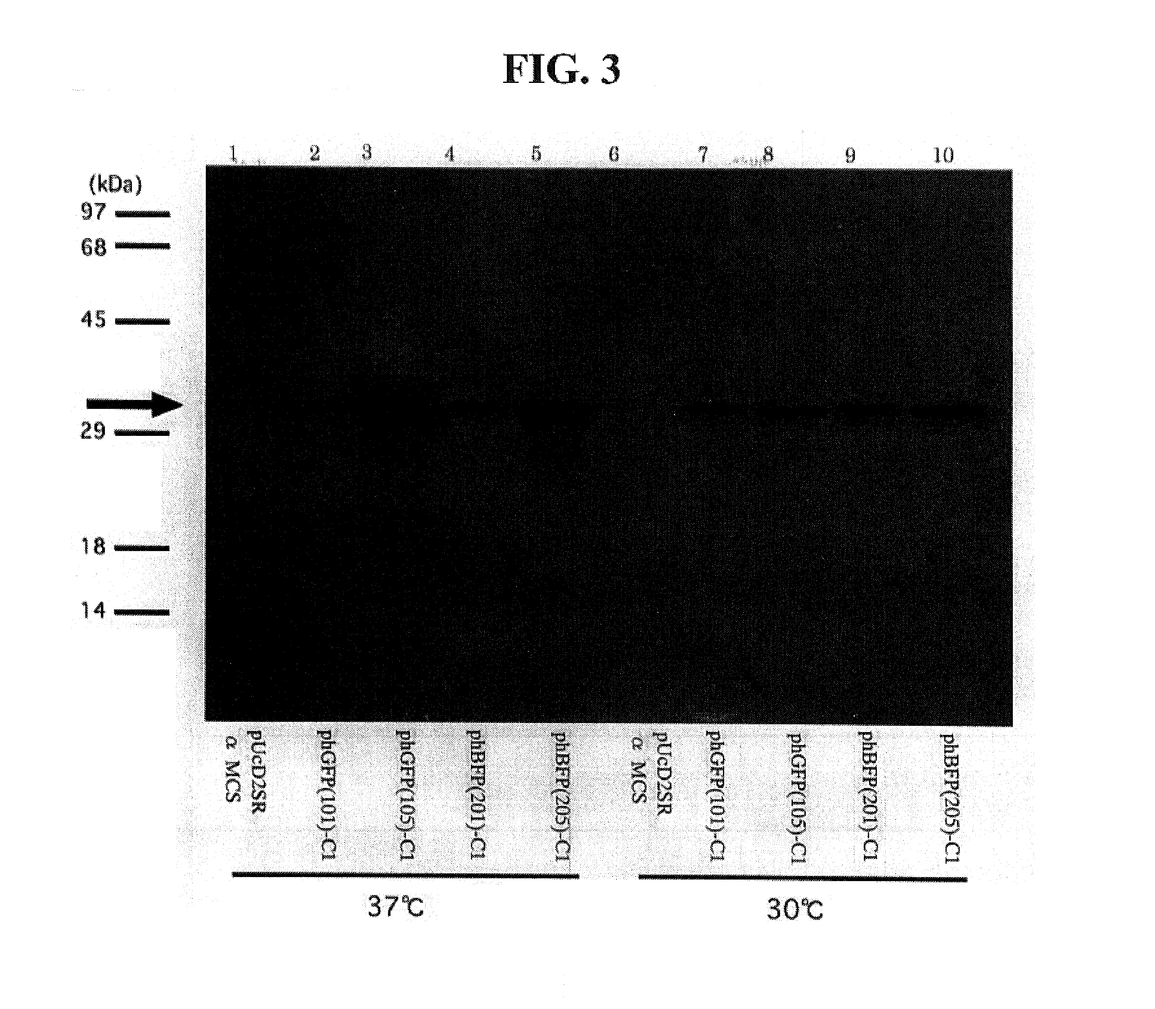 expression and characterisation of green fluorescent protein mutant The subcellular expression patterns and fluorescence intensities of  green  fluorescent protein (gfp) is a 238 amino acid peptide isolated from the  since  gfp introduction, a variety of spectral and codon optimized mutants have  of  aspergillus nidulans: molecular characterization of aspb and in vivo.