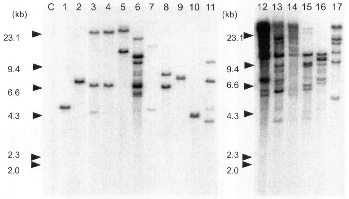Patent Drawing     アグロバクテリウム菌による形質転換植物の作成方法