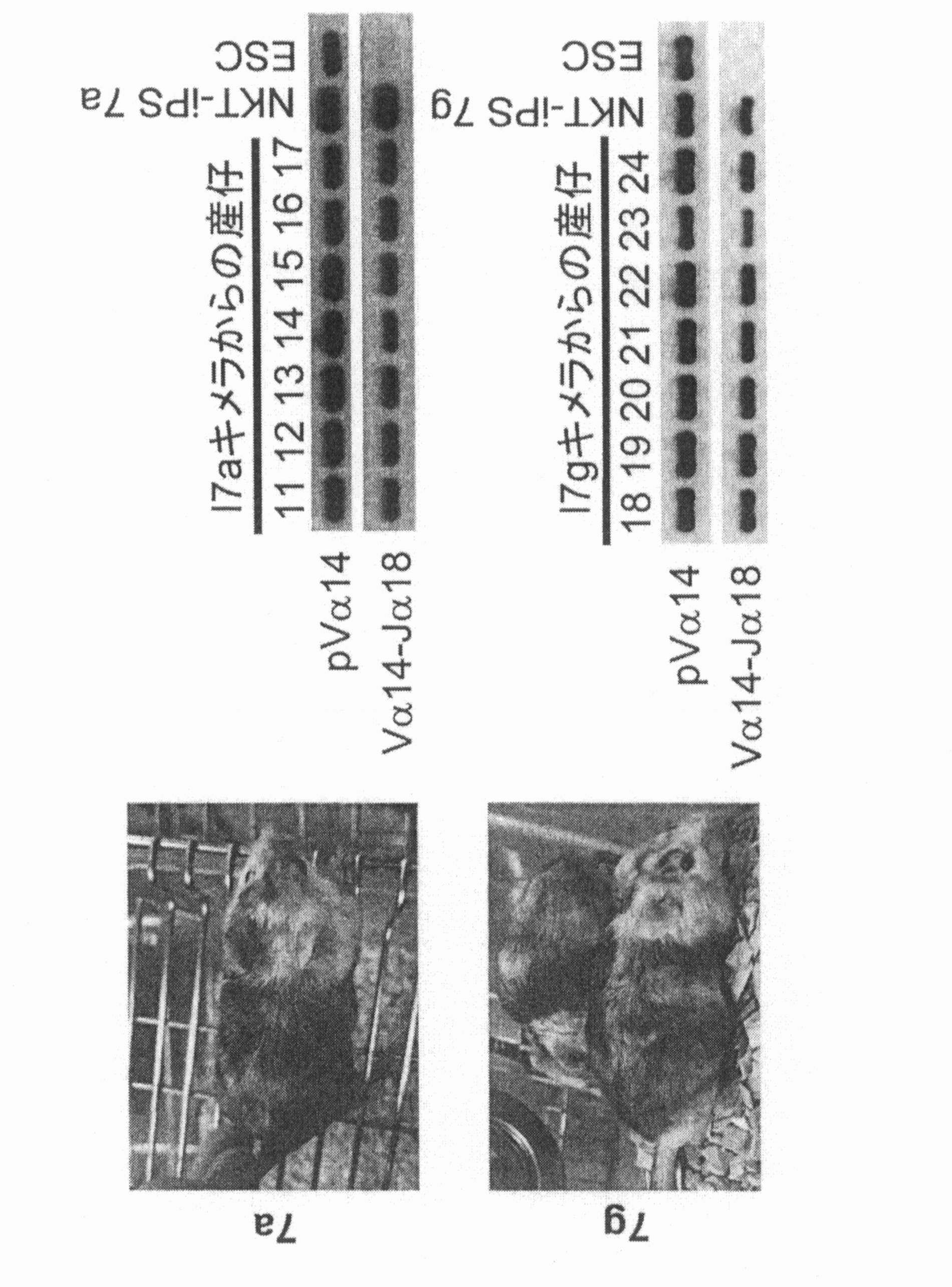 WO2012074116A1 - アロNKT細胞を用いた免疫療法およびそのためのT細胞抗原受容体(TCR)遺伝子のα鎖領域が均一なVα-Jαに再構成されている細胞および該細胞由来NKT細胞のバンキング         - Google PatentsFamily