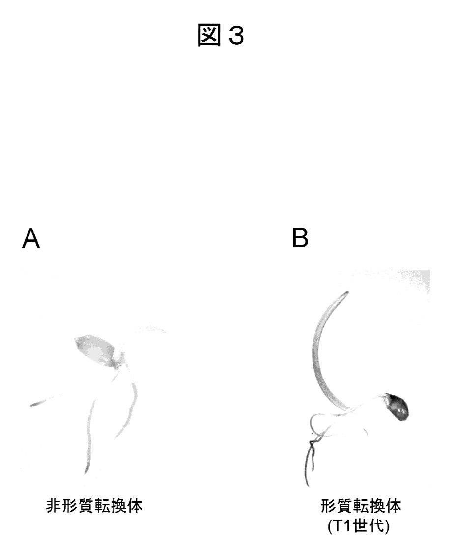 Patent Drawing     植物成長阻害ホルモンを用いた植物形質転換方法