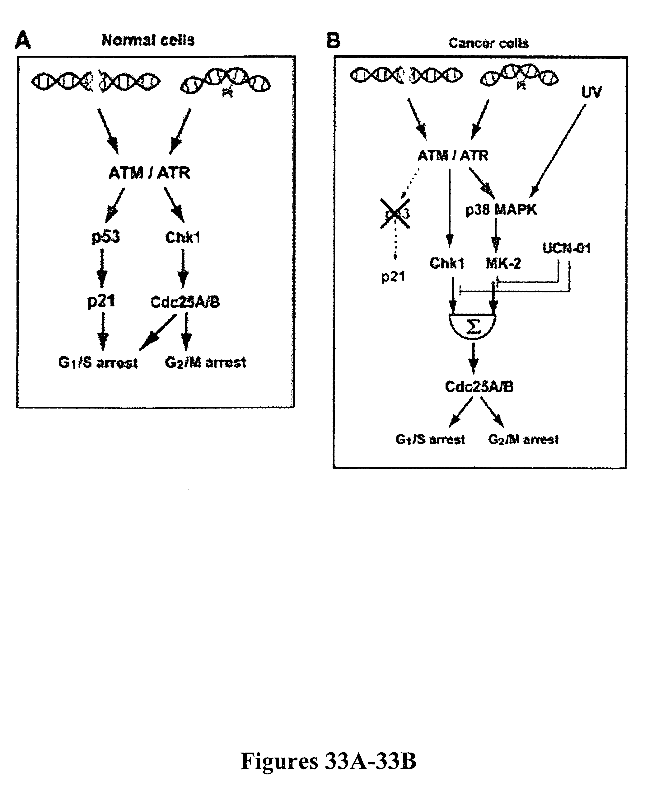 Us8440610b2 Mapkap Kinase 2 As A Specific Target For Blocking Ati Transfer Switch Wiring Diagram Proliferation Of P53 Defective Cells Google Patents