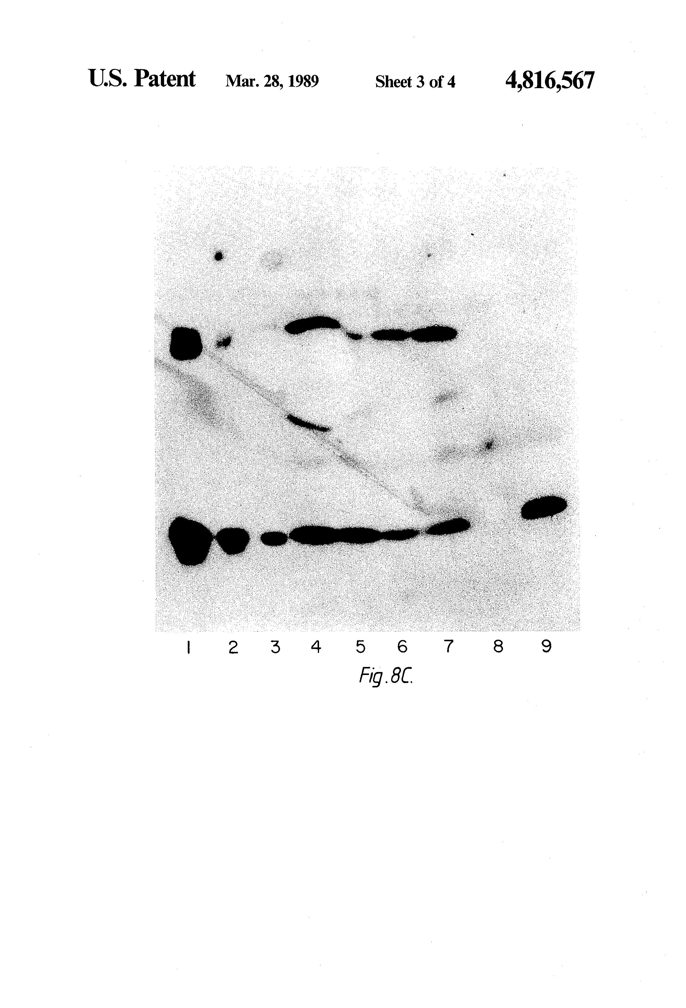 US4816567A - Recombinant immunoglobin preparations - Google Patents