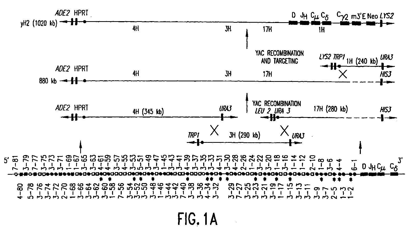 Abp 656 ep1972194a1 - transgenic mammals having human ig loci