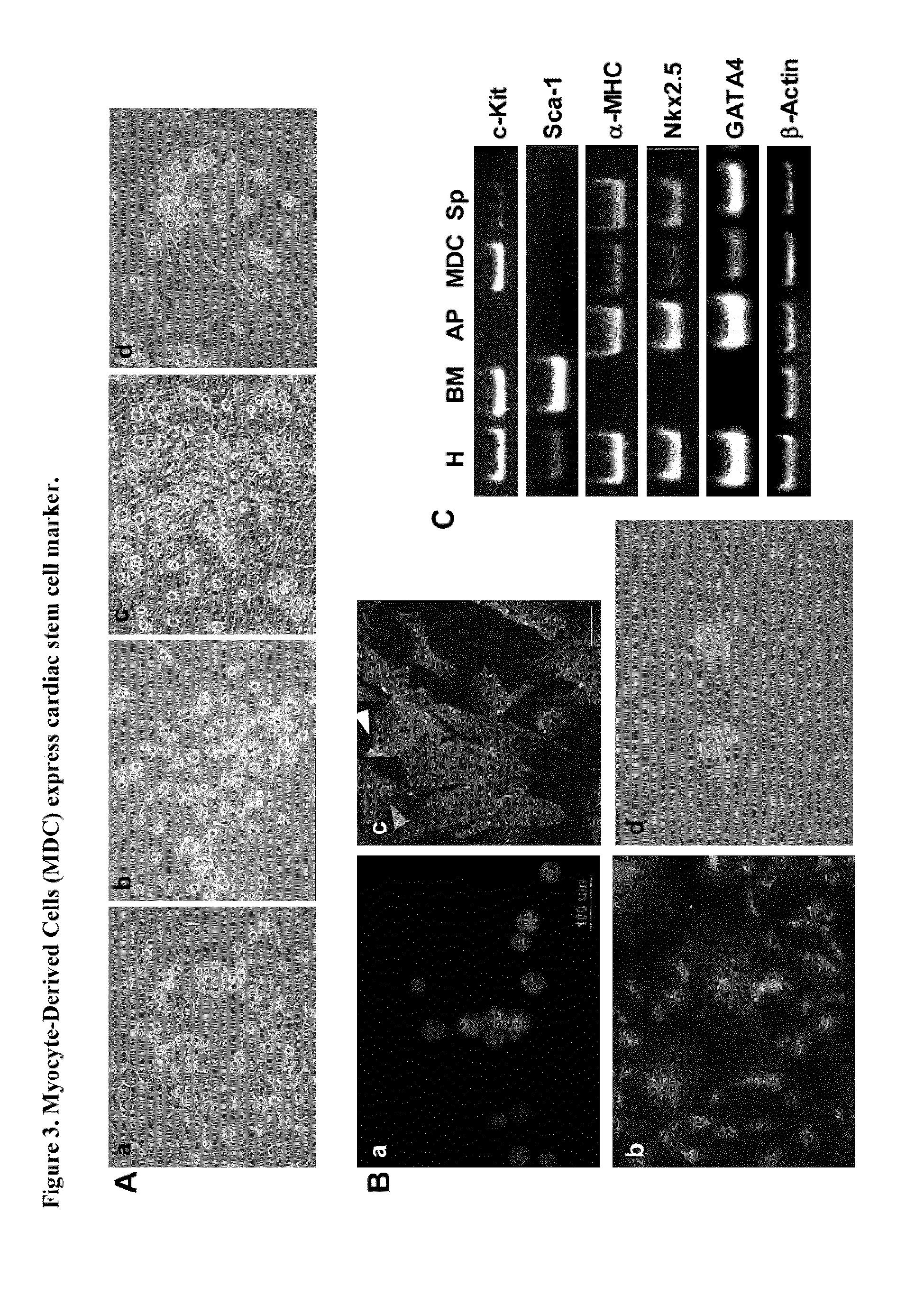 EP2518140A1 - Dedifferentation of adult mammalian