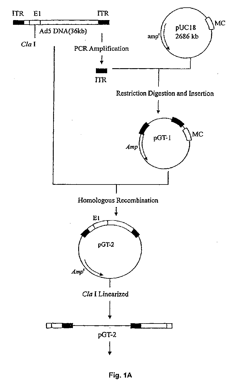 Ep1642981a1 Recombinant Gene Medicine Of Adenovirus Vector And Figure 1 Schematic Diagram A Prokaryotic Cell Imgaf001