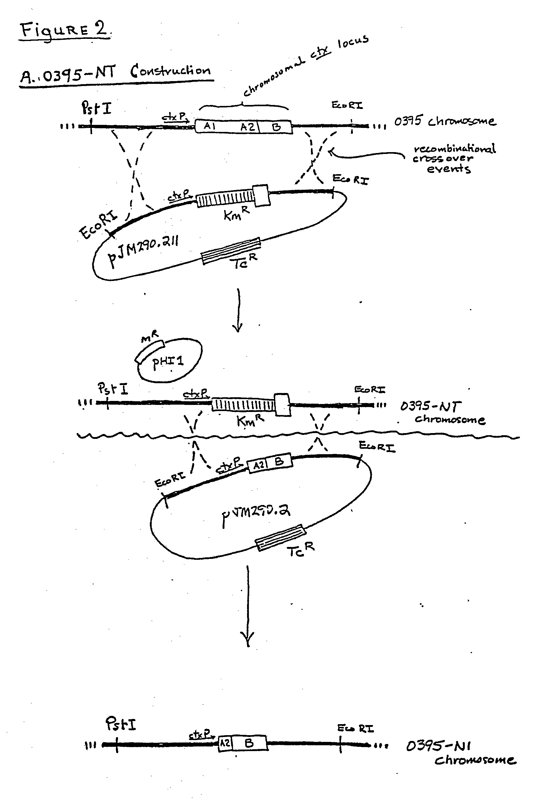 patent ep0125228b1 - plasmids and modified strains of ... vibrio diagram