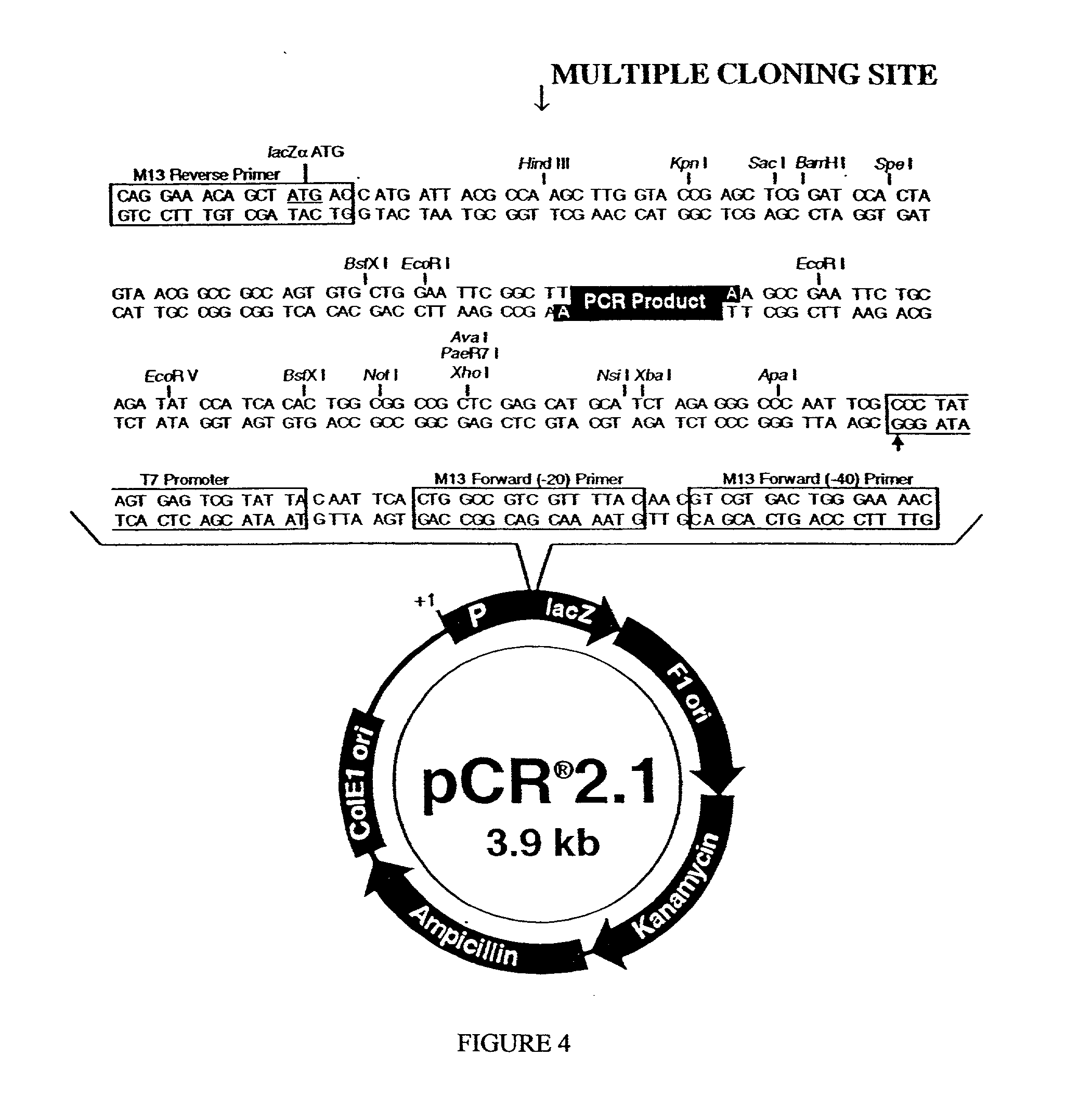 pCR2.1-TOPO.dna (Sequence and Map File | 32 KB) Images - Frompo