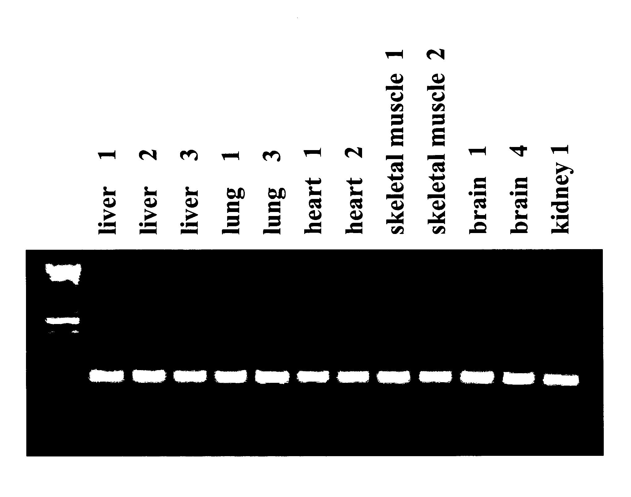 beta actin gene