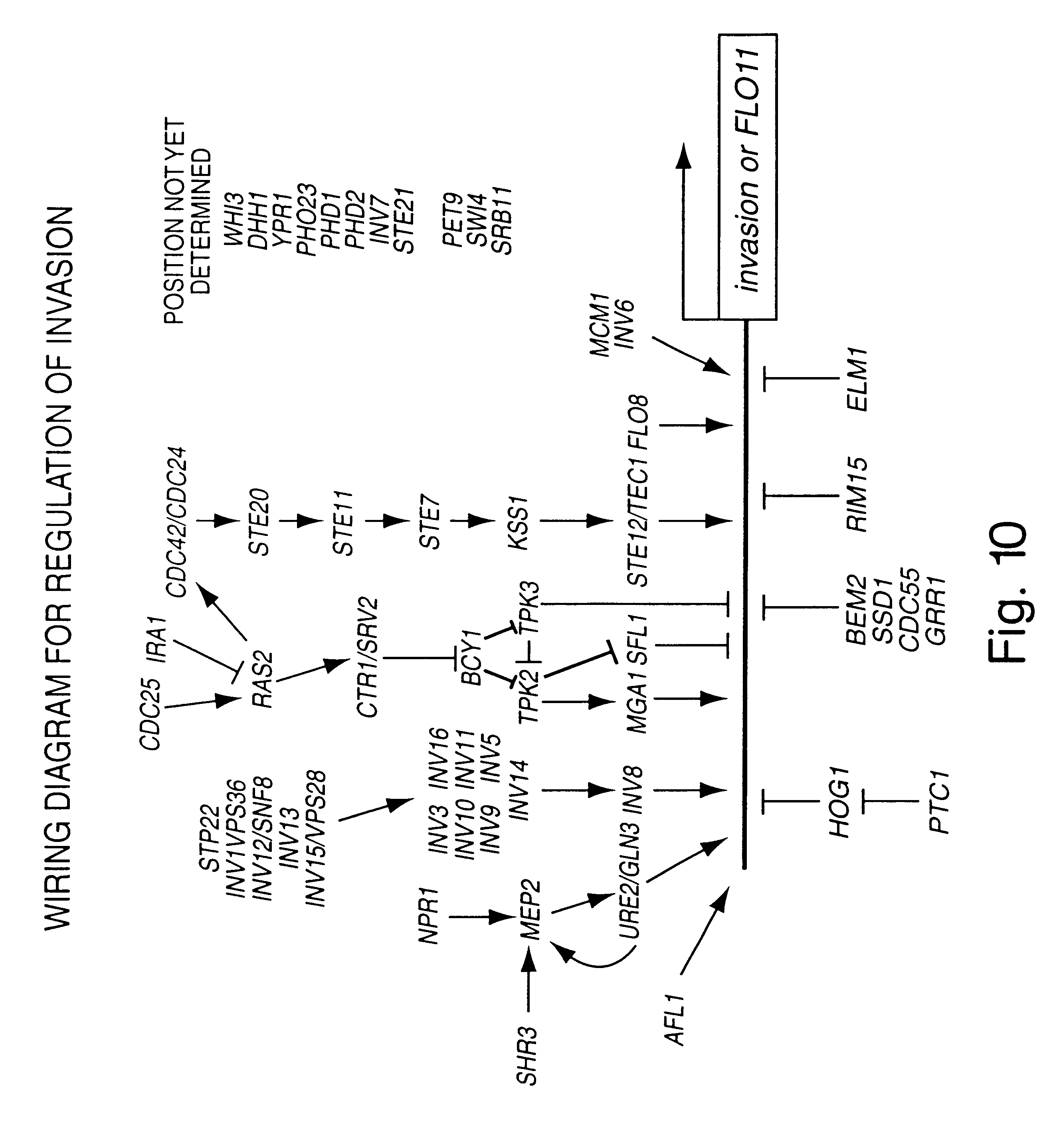 Patent Us6599705 Regulation Of Fungal Gene Expression Google