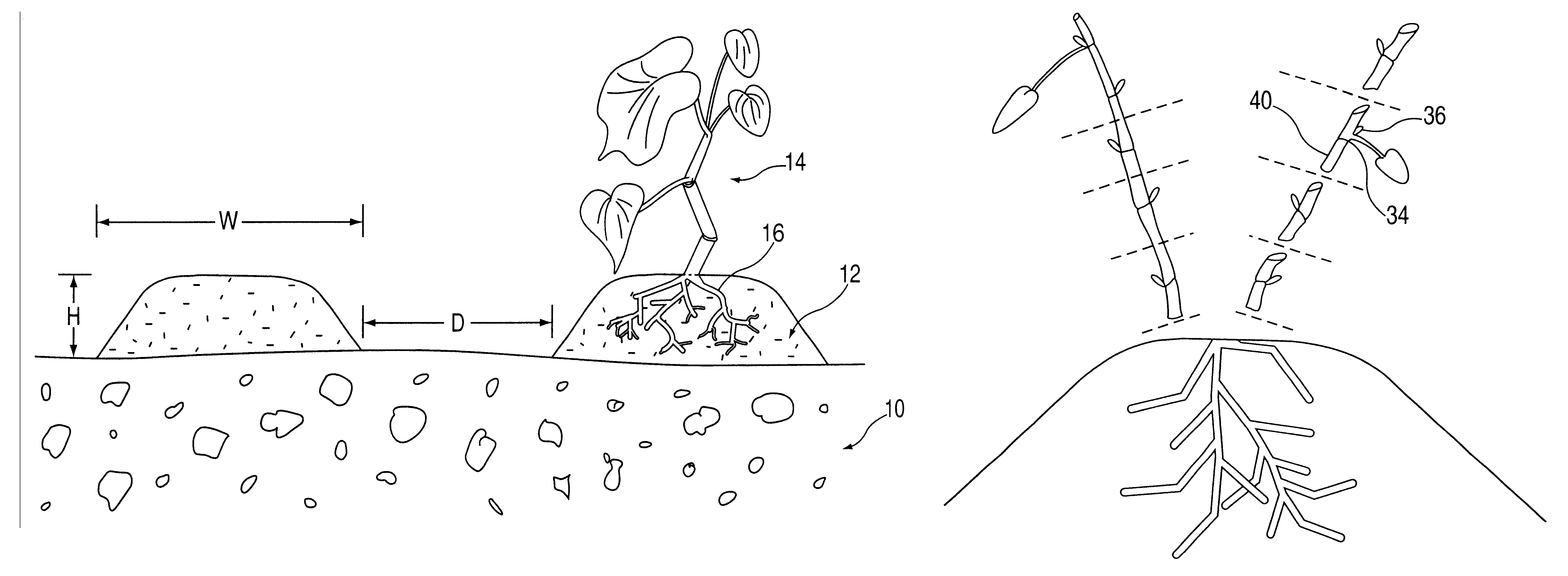 Drawing of a piper methysticum plant