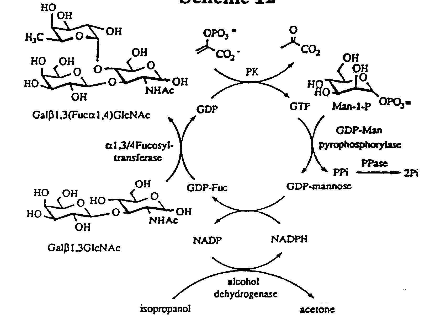 Guanosine Diphosphate Sugars; GDP Sugars