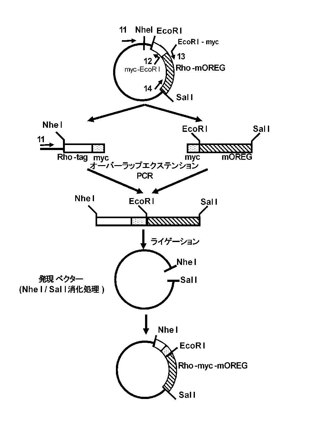 WO2012056683A1 - キメラ嗅覚受容体を用いてcAMPを産生する方法         - Google PatentsFamily