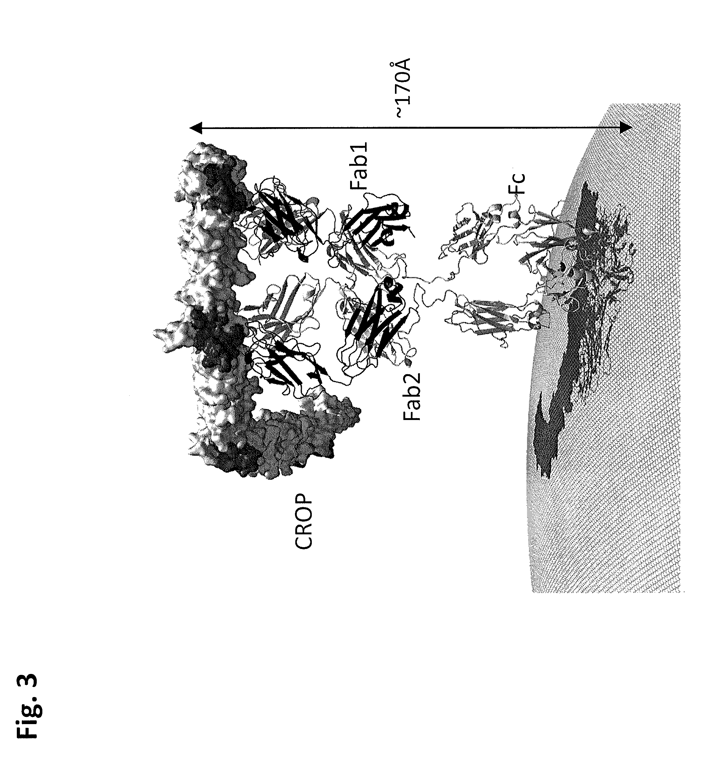 Us9181632b1 C Difficile Toxin B Crop Domain Peptides Antibodies And Complexes Thereof Google Patents