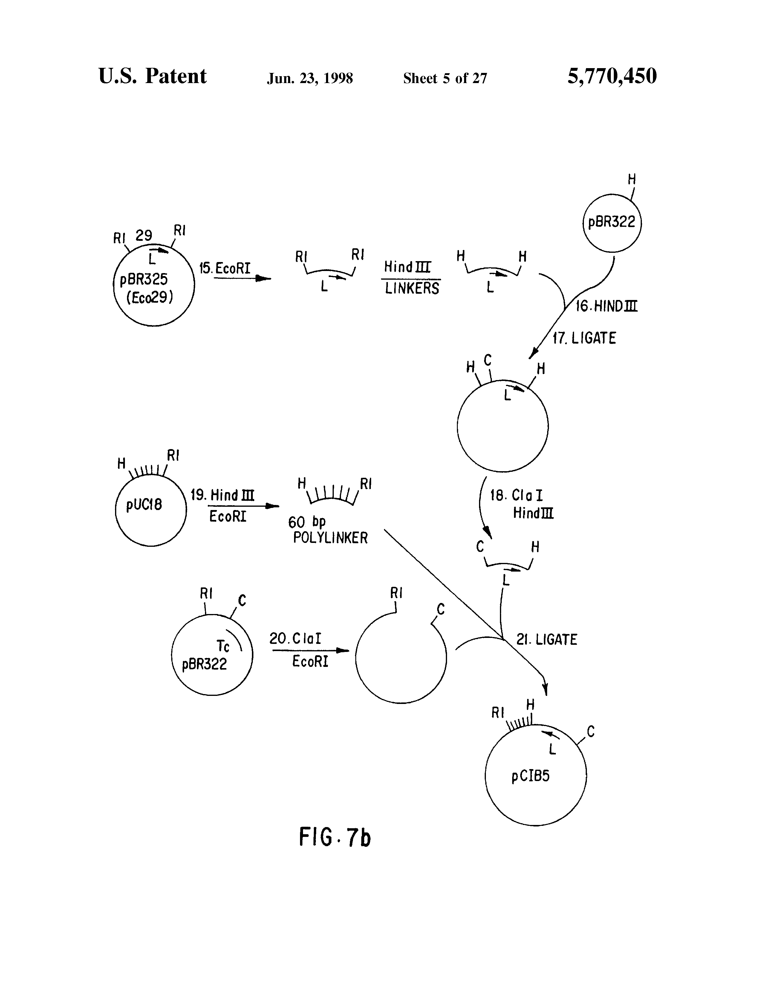 US5770450A - Zea mays plants regenerated from protoplasts or